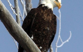 Park City Utah Bald Eagle